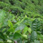 Les bienfaits des thés et des tisanes